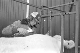 Cattle get 'Royal' beauty treatment (2)
